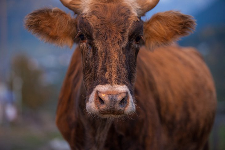 Tough cow with horns